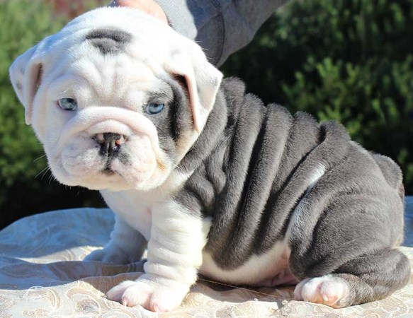 English Bulldog Puppies For Sale Under 1000 English