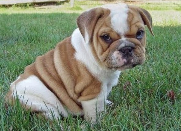 English Bulldog Puppies for Sale in Florida 1