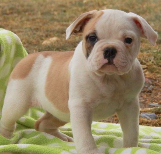English Bulldog Puppies for Sale in PA 2