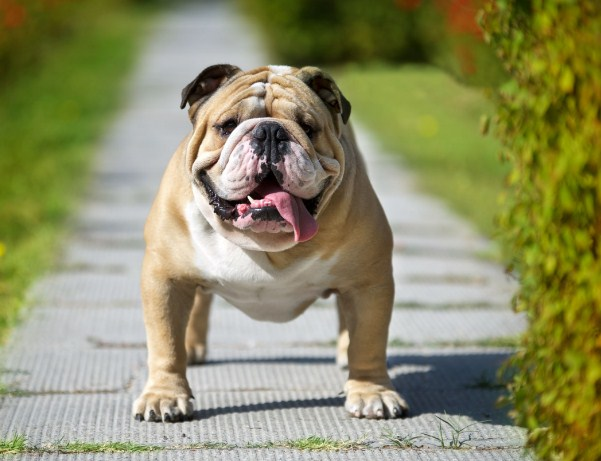English Bulldog Puppies for Sale in PA 3