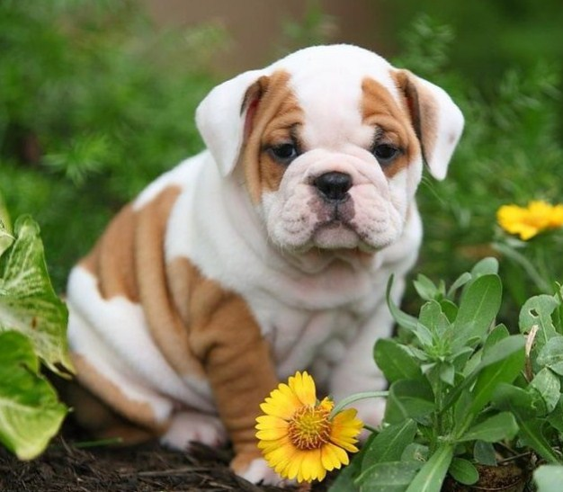 English Bulldog Puppies for Sale in SC 3