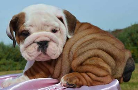 English Bulldog Puppies for Sale in WV 1
