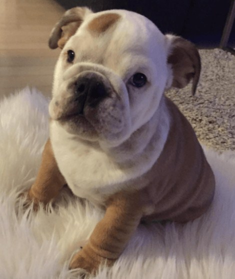 Free English Bulldog Puppies 3