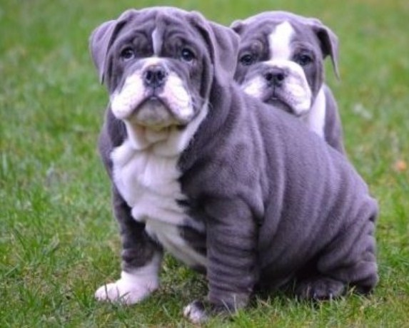 blue eyed english bulldog puppies for sale blue english bulldog puppies english bulldog puppies 8810