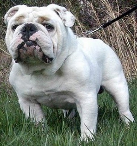 English Bulldog Puppies for Adoption 1