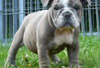 English Bulldog Puppies for Sale Near Me | English Bulldog ...