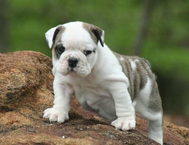 English Bulldog Puppies for Sale in Indiana 2