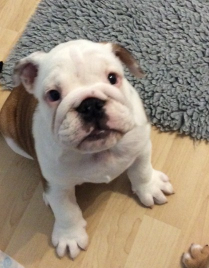 Free English Bulldog Puppies 2