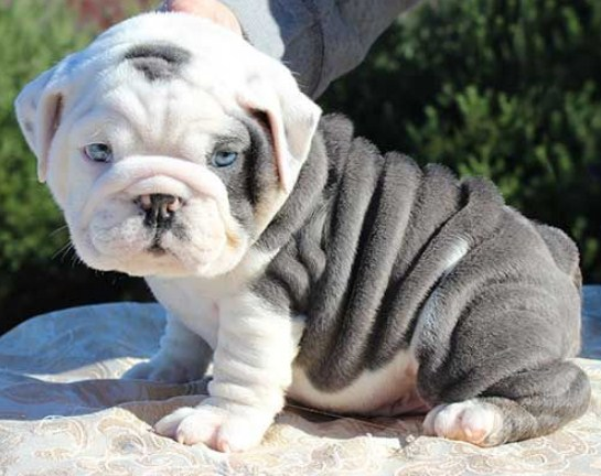 Miniature English Bulldog Puppies For Sale 1