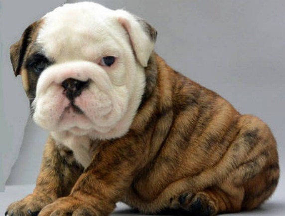 Miniature English Bulldog Puppies For Sale 3